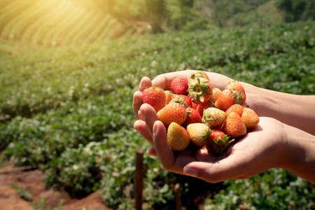イチゴ畑で女性の手でイチゴの新鮮な果物