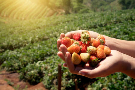 Strawberry fresh fruits in a womans hands with strawberry field