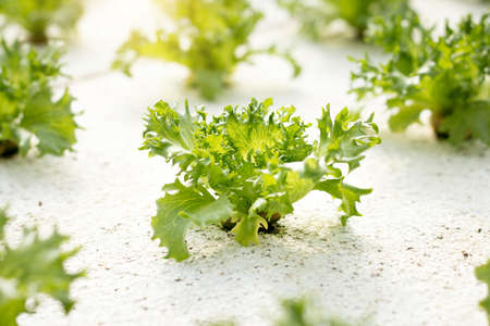 Vegetables hydroponics. Hydroponics method of growing plants using mineral nutrient solutions, in water, without soil. Close up Hydroponics plant. Stock Photo