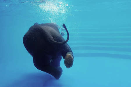 Elephant swimming underwater. Thai elephant in the clear water tank with mirrors. Animals show in the zoo.