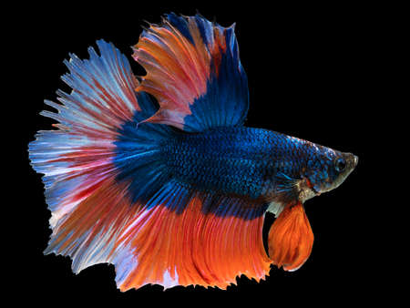 beautiful dark blue Thai fighting fish swimming with long fins and red white colorful long tail gene. fighting fish isolated on black background. Stockfoto