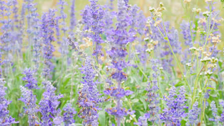 blue salvia (blue sage) flower. Beautiful violet flowers on the meadow with grass