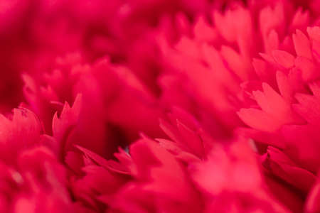 close up of soft red petal of flower , selective focus. flower texture and background 写真素材