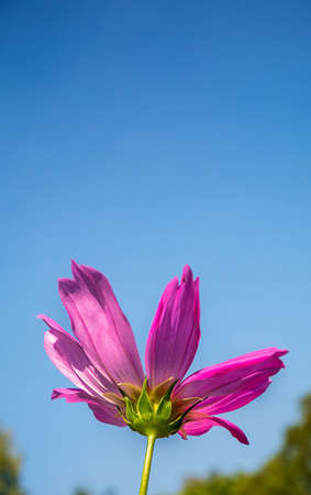 single pink cosmos flower in flowers field with daylight and blue sky background