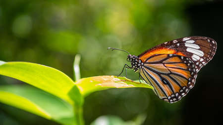 Common tiger butterfly (monarch butterfly) on green leaves