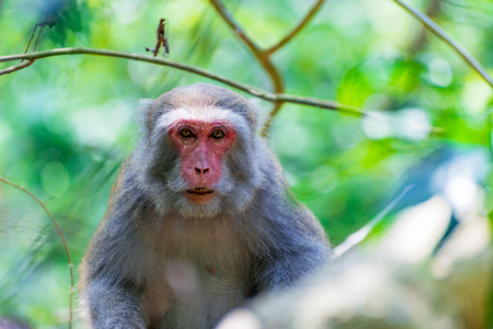 Portrait of a Formosan macaque in the wild
