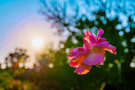 dept: Romantic scene of a Flower with out of focus sunset in the background
