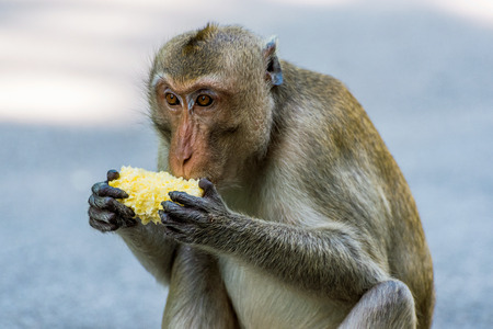 Portrait of a monkey eating sweetcorn in Thailand
