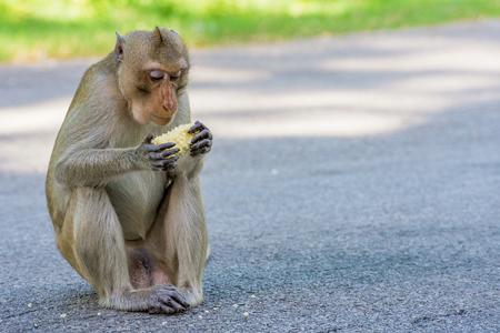 Wild monkey in Thailand eating sweetcorn