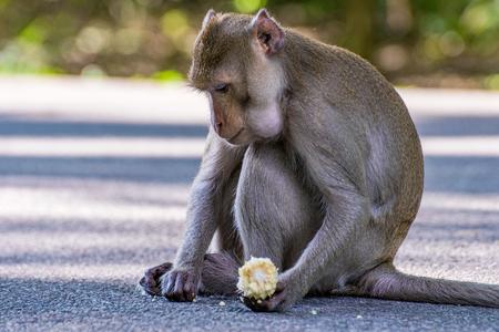Monkey eating corn in Thailand