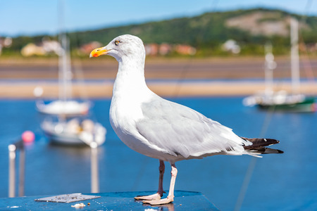 Seagull near a harbour in Wales
