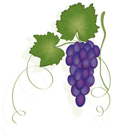 bunch of grapes Stock Vector - 5646341