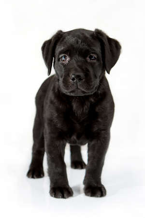 white labrador retriever puppy dog looking away from the camera on white background photo