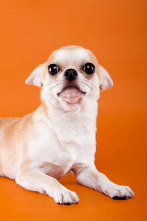 sonorous: Decorative breed of dog - Chihuahua
