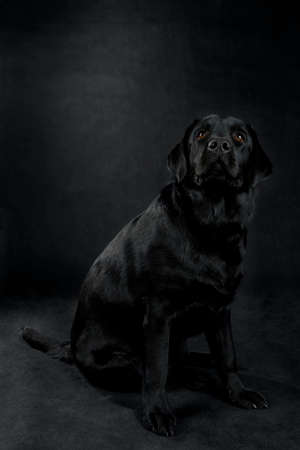 labrador retriever  dog looking away from the camera on white background photo