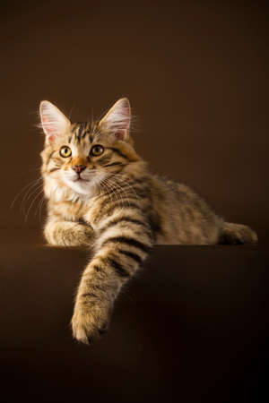 bobtail: Kuril Bobtail Cat on a brown background