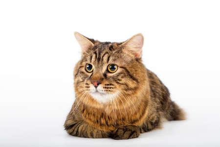bobtail: Kuril Bobtail Cat оn an isolated background