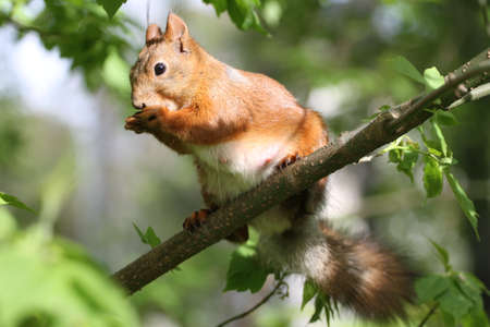 fluffy tuft: Red squirrel, Sciurus vulgaris