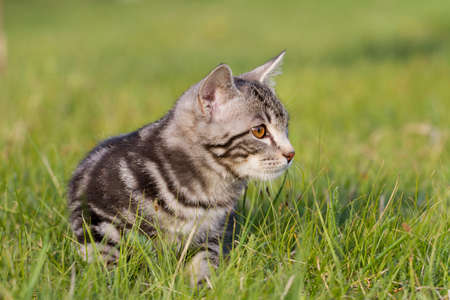 meowing: adorable meowing tabby kitten outdoors Stock Photo