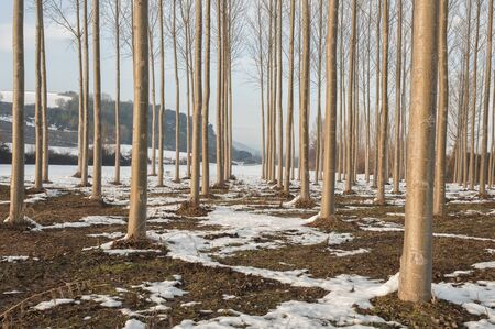poplars: Forest of poplars in winter Stock Photo