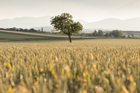 alava: Lone tree surrounded by wheat in an agricultural field Stock Photo