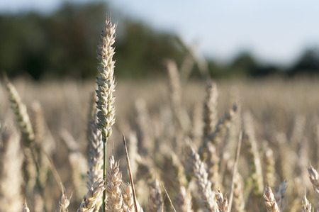 tang: Tang dry wheat to be harvested Stock Photo