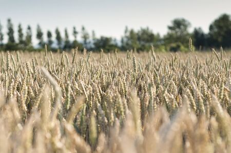 alava: Yellow wheat field about to be harvested Stock Photo