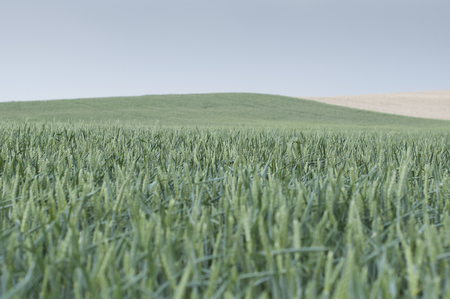 maturing: green wheat field maturing between hills