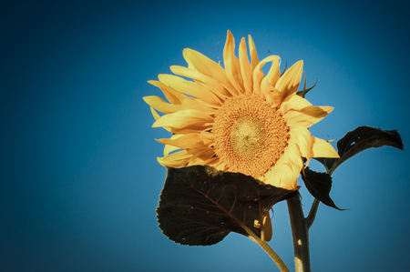 60 s: Sunflower growing in light summer Foto de archivo