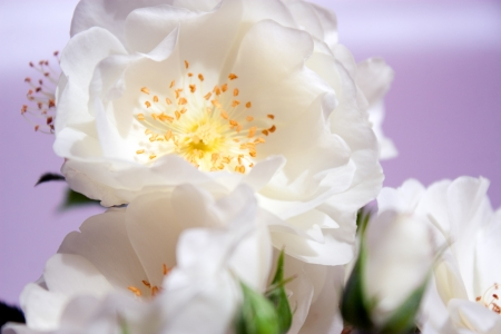 closeup of white roses over light purple background photo