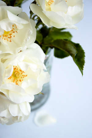roses in vase: bunch of white roses in a glass vase over a light blue background
