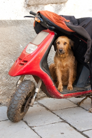 vigilant: Dog guarding the old motorbike and jacket of his master in a rural village