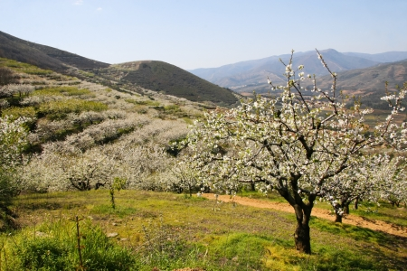 terracing: Cherry blossom landscape between mountains, Las Hurdes, Caceres, Spain Stock Photo