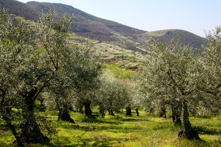 terracing: Olive trees in Las Hurdes, Caceres, Spain Stock Photo