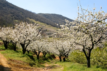 View of cherry blossom between mountains and terraces, Las Hurdes, Caceres, Spain Stock Photo