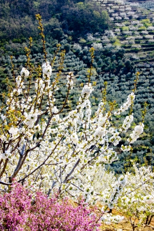 terracing: White cherry blossom branches and flowers of heather