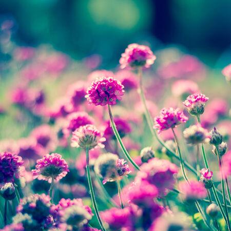 flores fucsia: Pequeñas flores en un jardín de Armeria maritima
