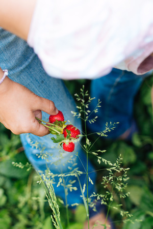 Little girl picking wild strawberries. Focus on the strawberries in hand. photo