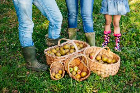 rain boots: Baskets of pippin apples on the grass and legs of family in jeans and rain boots. Concept of family work team.