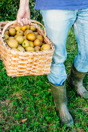 rain boots: Legs of a country man with blue jeans and rain boots in the grass carrying a basket of pippin apples