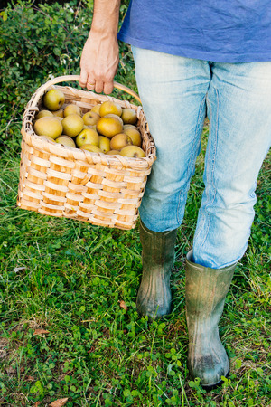 unrecognizable: Legs of a country man with blue jeans and rain boots in the grass carrying a basket of pippin apples