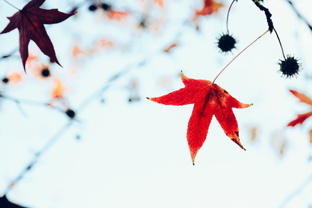 feuille arbre: L'érable rouge laisse sur arbre en automne. Faible profondeur de champ