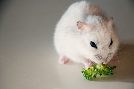 russian hamster: White russian dwarf hamster eating fresh broccoli