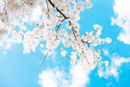 Cherry blossom branches against a blue sky and clouds on a sunny day Stok Fotoğraf