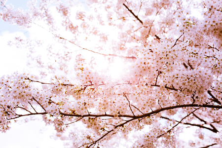 Beautiful pink cherry blossom branches against the sun and the sky in a sunny day Stock Photo