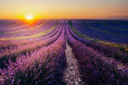 Beautiful blooming lavender field at sunset in Valensole, France,