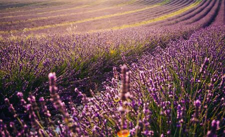 Beautiful blooming lavender field at sunset in Valensole, France Imagens - 150463719