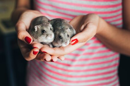 Couple of gray russian hamsters in girl hands with red nail polish and pink and gray stripes t-shirt Stockfoto