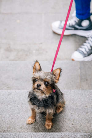 Adorable yorkshire terrier puppy with a pink leash in the street with its owner. Unrecognizable people