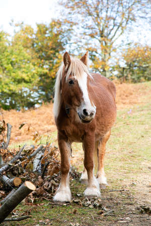 Brown and white mane percheron horse next to trunks in a field in autumn